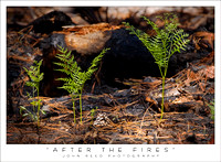 after the fires GOK 0706 _85R0870 fire fern 28.jpg